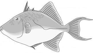 Reef Triggerfish Drawing