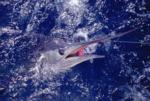 Photo of striped marlin caught at Cabo San Lucas, Baja California Sur, Mexico.