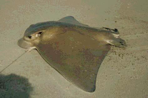 Bat Ray Fish Pictures