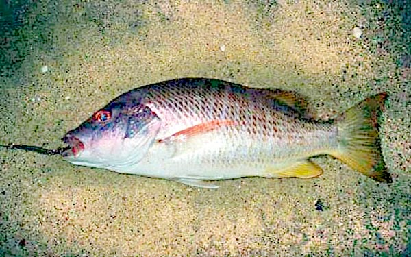 Colorado snapper fish pictures and species identification for Colorado fish species
