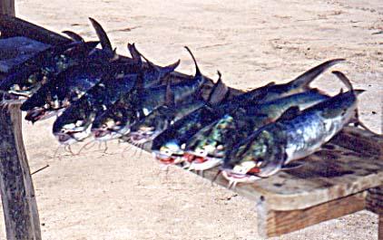 Cominate Sea Catfish, Occidentarius platypogon: Caught during a ...