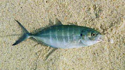 Green jack fish pictures and species identification for What is a jack fish
