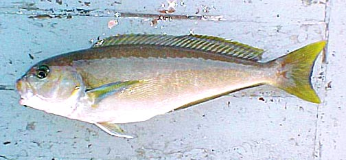Ocean whitefish fish pictures and species identification for White fish types