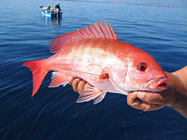 Red snapper fish pictures and species identification for Types of red fish