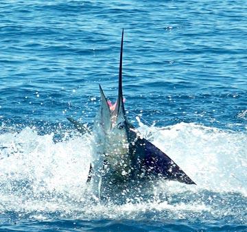 San quintin fishing season opens up for summer sailfish for San carlos mexico fishing